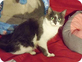 Domestic Mediumhair Cat for adoption in Randallstown, Maryland - Chips mama