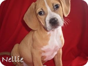 Beagle/Hound (Unknown Type) Mix Dog for adption in Westland, Michigan - Nellie