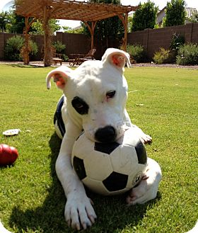 American Bulldog Mix Dog for Sale in Phoenix, Arizona - RIO
