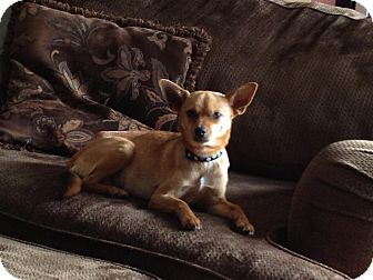 Chihuahua Mix Dog for Sale in Broomfield, Colorado - Abbie