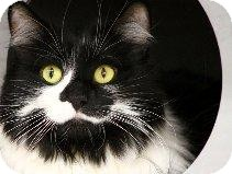 Domestic Mediumhair Cat for Sale in Mesa, Arizona - Olivia