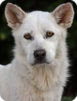 Husky/Jindo Mix Dog for adption in Los Angeles, California - Scully von Mimster