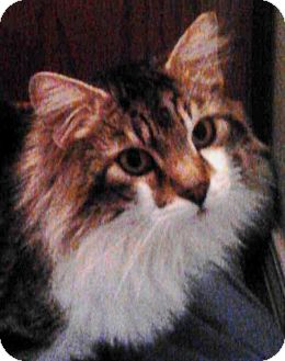 Domestic Longhair Cat for Sale in Boise, Idaho - Buddy