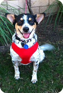 Australian Cattle Dog/Australian Cattle Dog Mix Dog for Sale in San Diego, California - LAYLA