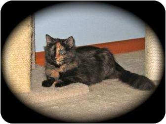 Domestic Longhair Cat for adoption in Hamburg, New York - Sabrina