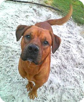 Boxer Mix Dog for adption in Porter, Texas - Rambo