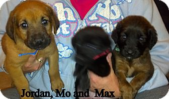 Labrador Retriever/Bloodhound Mix Puppy for Sale in Dry Branch, Georgia - Maxwell