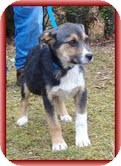 Beagle/Shepherd (Unknown Type) Mix Puppy for Sale in Windham, New Hampshire - Myra