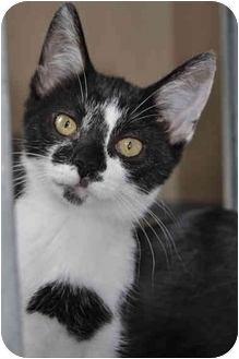 Domestic Shorthair Cat for adoption in Grafton, West Virginia - Jersey