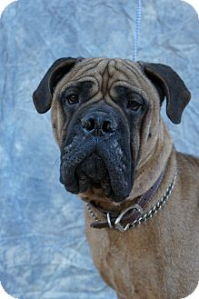 Bullmastiff Mix Dog for Sale in Anywhere, Connecticut - Mack