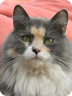 Calico Cat for adoption in Chico, California - Precious W.