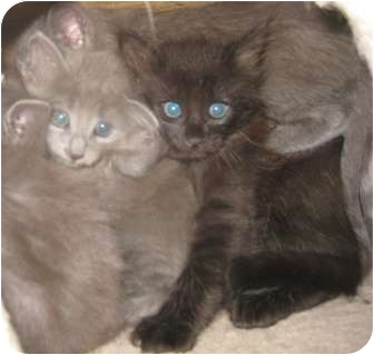 Russian Blue Kitten for Sale in Dallas area, Texas - Sergei