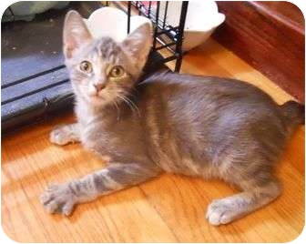Domestic Shorthair Cat for Sale in St. Louis, Missouri - Ophelia