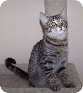 Domestic Shorthair Cat for adoption in Colorado Springs, Colorado - K-Melody4-Erol
