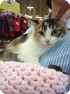 Calico Kitten for Sale in Vero Beach, Florida - Sophie
