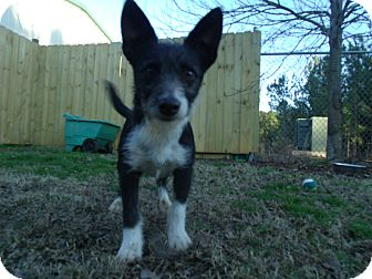 Terrier (Unknown Type, Small) Mix Dog for Sale in Gadsden, Alabama - Adler
