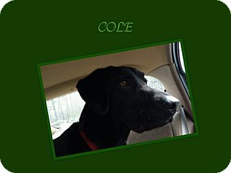 Labrador Retriever/Labrador Retriever Mix Dog for adption in Dallas, North Carolina - COLE