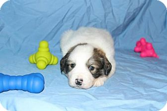 Great Pyrenees Mix Puppy for Sale in Stilwell, Oklahoma - Charlie