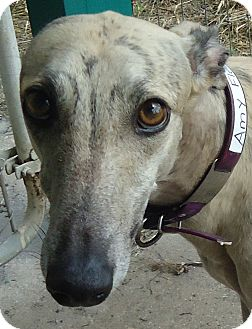 Greyhound Dog for Sale in Longwood, Florida - Dysfunctional