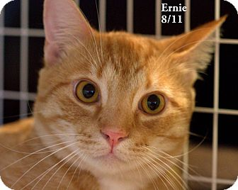 Domestic Shorthair Cat for Sale in Gaithersburg, Maryland - Ernie