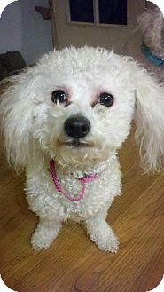 Bichon Frise/Poodle (Toy or Tea Cup) Mix Dog for Sale in North Olmsted, Ohio - Gigi