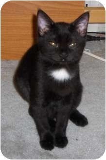 Domestic Shorthair Kitten for adoption in Richmond, Virginia - Spook