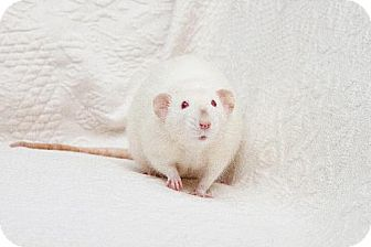 Rat for adoption in Boise, Idaho - Chester