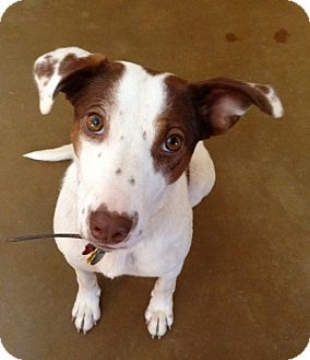 Australian Cattle Dog/Brittany Mix Dog for Sale in Phoenix, Arizona - Missy