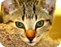 Domestic Shorthair Kitten for Sale in Mesa, Arizona - Dixie-Chick