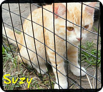 Domestic Shorthair Kitten for Sale in manasquam, New Jersey - Suzy