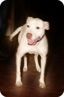 American Pit Bull Terrier Mix Dog for adption in Laval, Quebec - Pearl