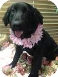 Flat-Coated Retriever Mix Puppy for Sale in Manchester, Connecticut - latoya ADOPTION PENDING