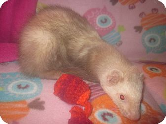 Ferret for Sale in Toledo, Ohio - Rocky
