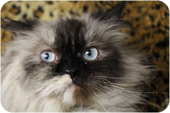 Himalayan Cat for Sale in Columbus, Ohio - Twinkle