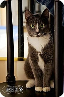 Domestic Shorthair Cat for Sale in Columbia, Maryland - Sparkle