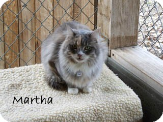 Domestic Mediumhair Cat for Sale in Hamilton, Montana - Martha