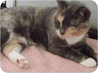 Calico Cat for adoption in Greenville, North Carolina - Sadie