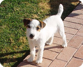 Jack Russell Terrier Dog for Sale in Scottsdale, Arizona - VALOR