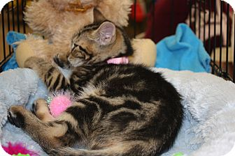 Domestic Shorthair Kitten for Sale in Vero Beach, Florida - Hazel