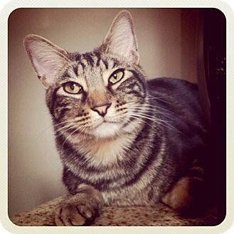 Domestic Shorthair Cat for adoption in Long Beach, California - Dylan