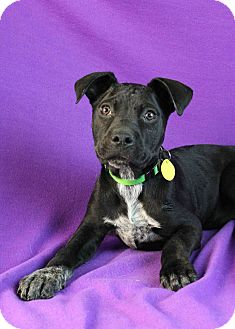 Boxer/Australian Cattle Dog Mix Puppy for adption in Westminster, Colorado - Nancy