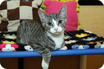 Domestic Shorthair Kitten for Sale in Farmingdale, New York - Cameron