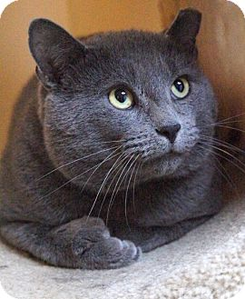 Russian Blue Cat for Sale in Medford, Massachusetts - Prince Troy
