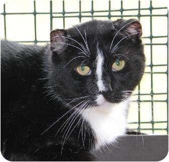 Domestic Shorthair Cat for adoption in Metairie, Louisiana - Beau