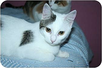 Domestic Shorthair Cat for adoption in SantaRosa, California - Astrid