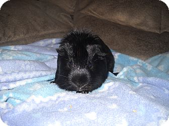 Guinea Pig for Sale in johnson creek, Wisconsin - spencer