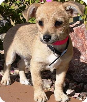 Wirehaired Pointing Griffon/Border Terrier Mix Puppy for Sale in Gilbert, Arizona - Jimmy