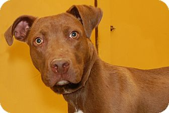 Labrador Retriever/American Pit Bull Terrier Mix Dog for Sale in London, Kentucky - Hershey