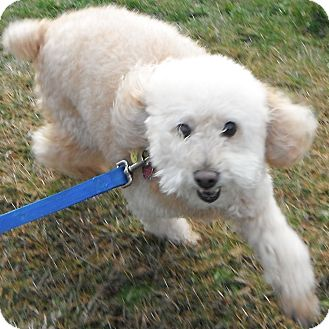 Poodle (Miniature) Dog for Sale in Jackson, Michigan - Cody