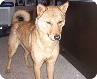 Jindo/Shiba Inu Mix Dog for Sale in Manassas, Virginia - Yobi